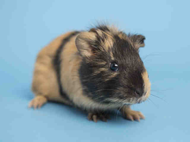 Adopt a Golden Guinea Pig / Mixed small animal in Phoenix, AZ (20545509)
