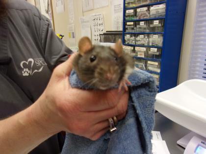 Adopt Phoebe a Rat