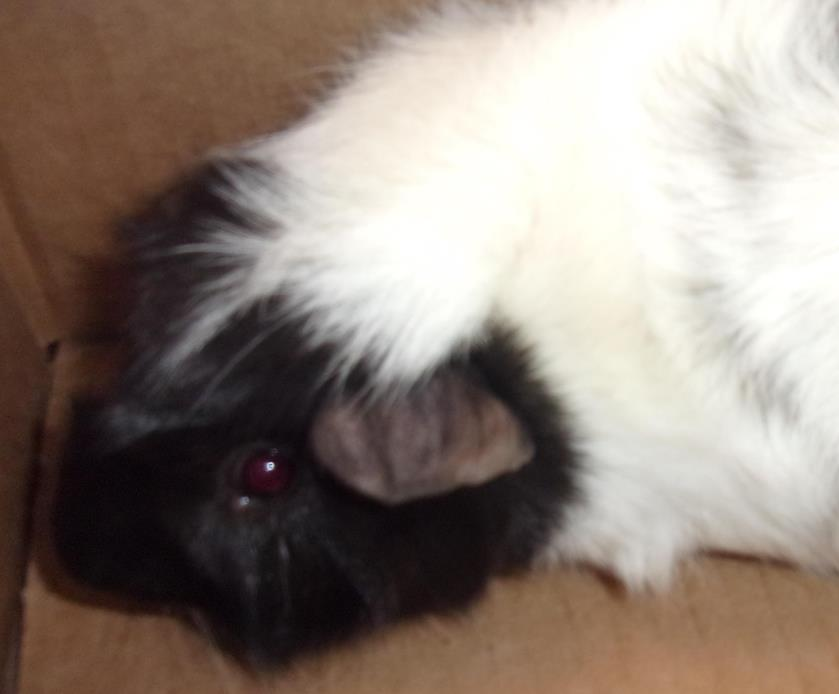 Adopt Skunk a Guinea Pig small animal in Raleigh, NC (20536725)