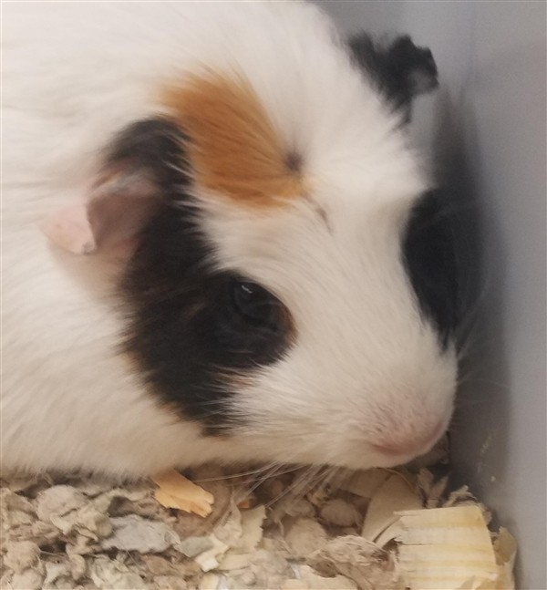 Adopt Cookie a Guinea Pig small animal in Birmingham, AL (20544825)
