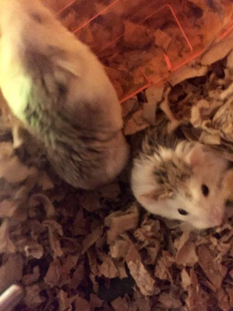 Adopt Zobee, Zeek a Hamster