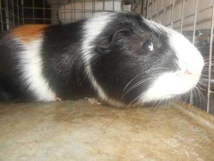 Adopt 37561158 a Black Guinea Pig / Mixed small animal in Arlington
