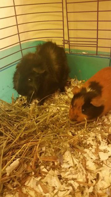 Adopt Ginger, Scary a Guinea Pig
