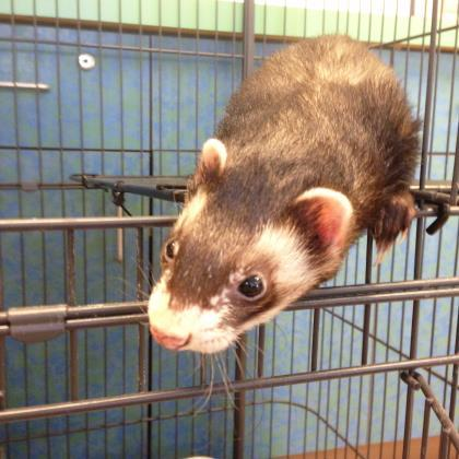 Adopt Baxter a Brown or Chocolate Ferret / Mixed small animal in Milwaukee