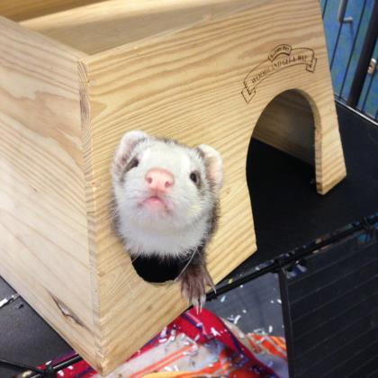 Adopt Oliver a Cream Ferret / Mixed small animal in Milwaukee, WI (20520821)