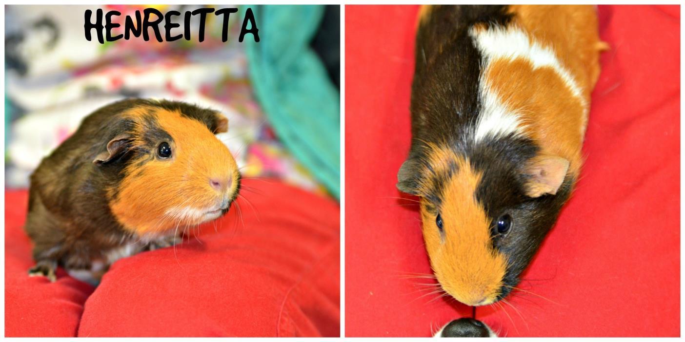 Adopt Henrietta a Guinea Pig