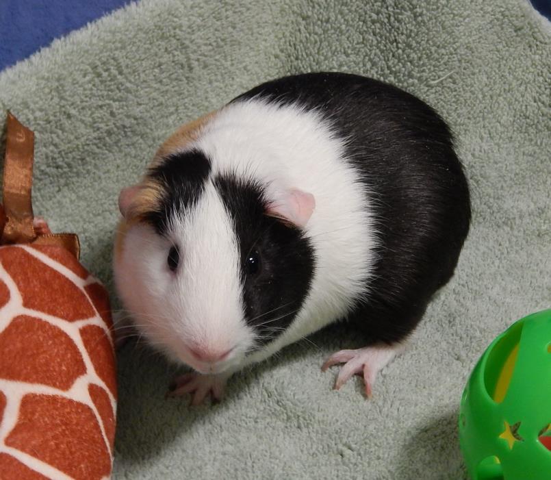 Adopt Wilbur a Guinea Pig
