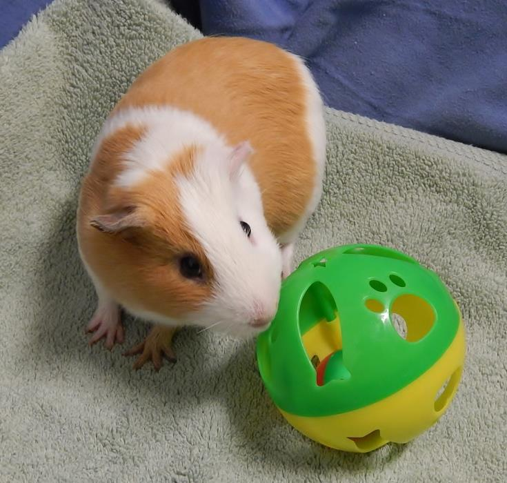 Adopt Orville a Guinea Pig