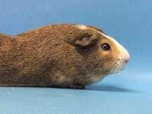 Adopt Charlie a White Guinea Pig / Mixed small animal in Golden Valley