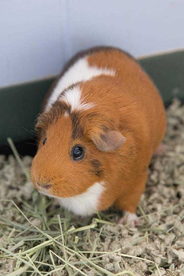 Adopt BABY a Brown or Chocolate Guinea Pig / Mixed small animal in Waterford