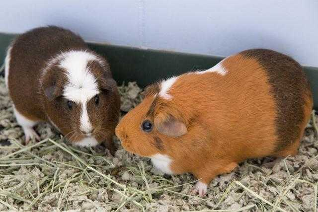 Adopt GIRL a Brown or Chocolate Guinea Pig / Mixed small animal in Waterford