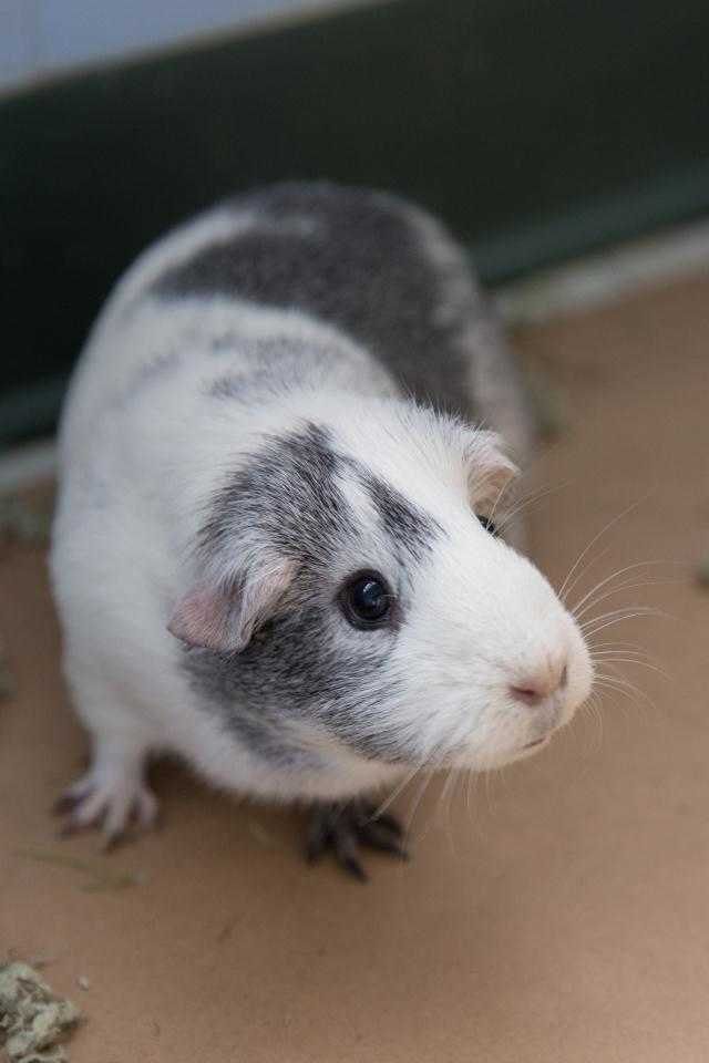 Adopt PIGGY a White Guinea Pig / Mixed small animal in Waterford, VA (20720541)