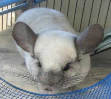 Adopt Charles a Silver or Gray Chinchilla / Chinchilla / Mixed small animal in