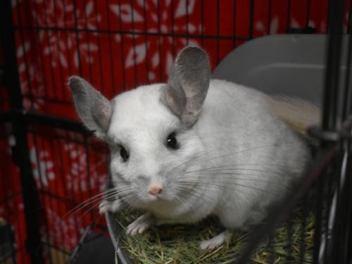 Adopt Lucy a Chinchilla small animal in Portland, OR (20690034)