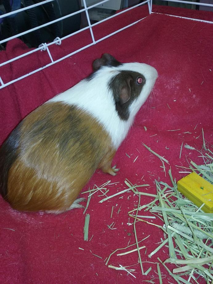 Adopt LOLA a Yellow Guinea Pig (short coat) small animal in Olivet