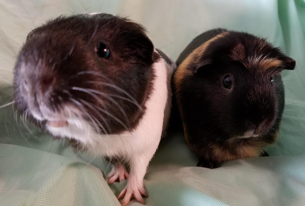Adopt Nina and Luna a Guinea Pig