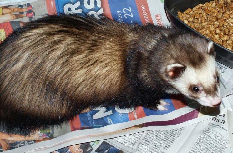 Adopt Fritz a Ferret