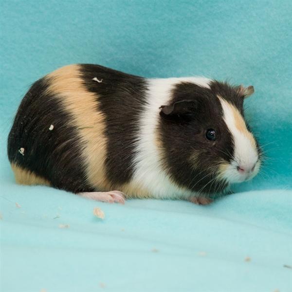 Adopt Trixie a Guinea Pig