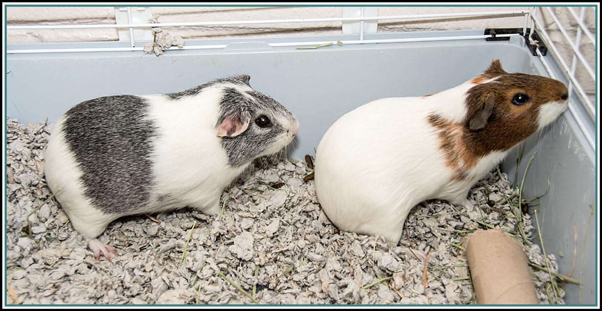 Adopt MUNCH & CHIP* a Guinea Pig