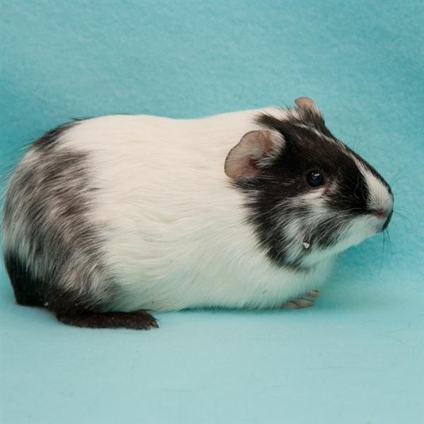 Adopt Izzie a Guinea Pig