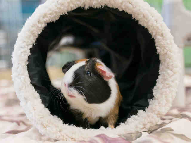 Adopt GINGER a Guinea Pig