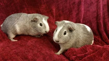 Adopt Razzle & Dazzle a Guinea Pig