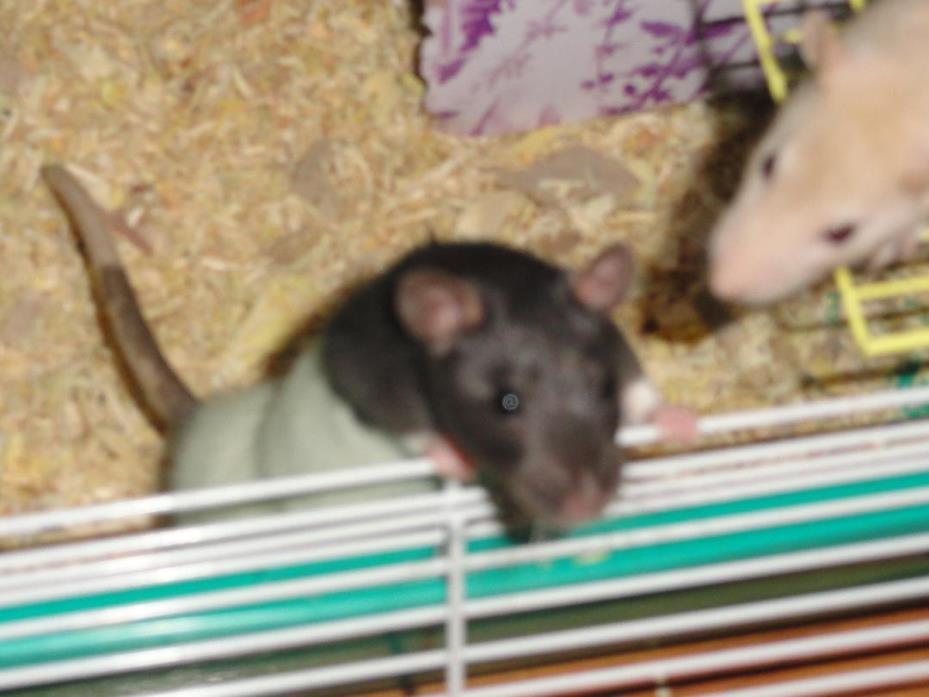 Adopt Dot and Lila a Rat