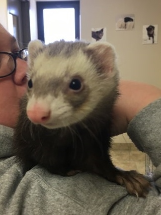 Adopt Felicity and Lola a Ferret