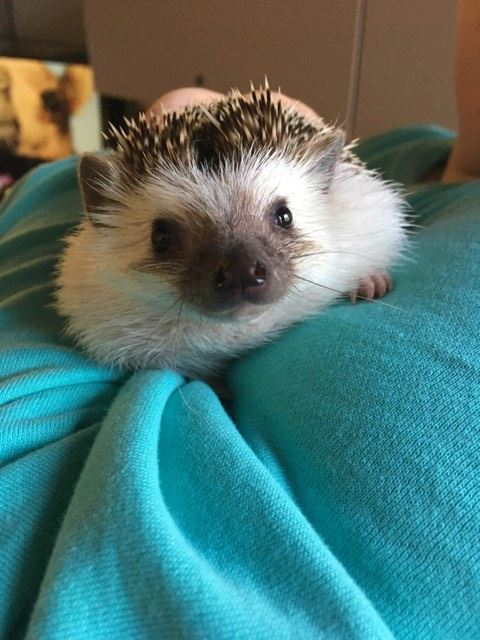 Adopt Minnie a Hedgehog