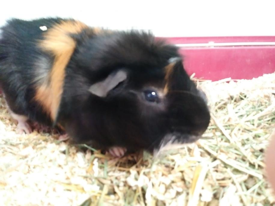 Adopt Rocky a Guinea Pig, Abyssinian