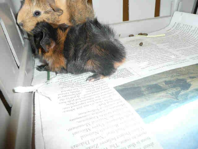 Adopt MCQUEEN a Guinea Pig