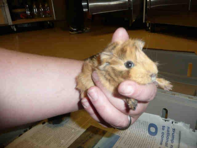 Adopt MATER a Guinea Pig
