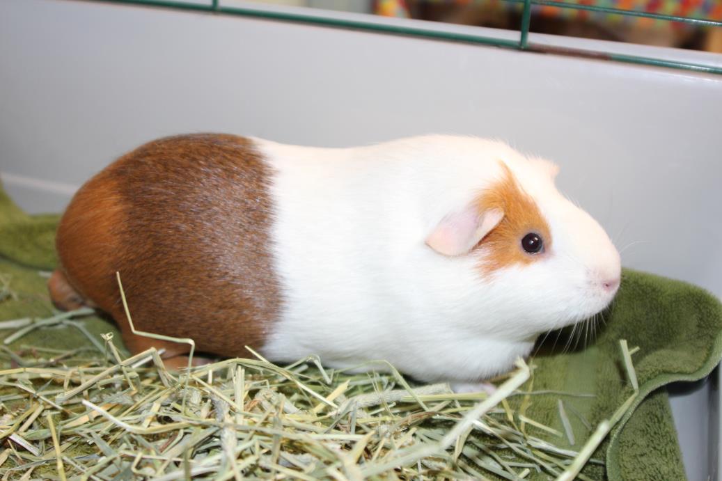 Adopt Cressida a Guinea Pig