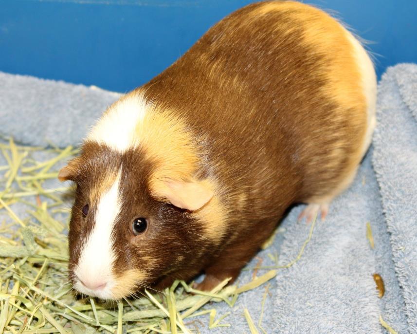 Adopt Cassandra a Guinea Pig