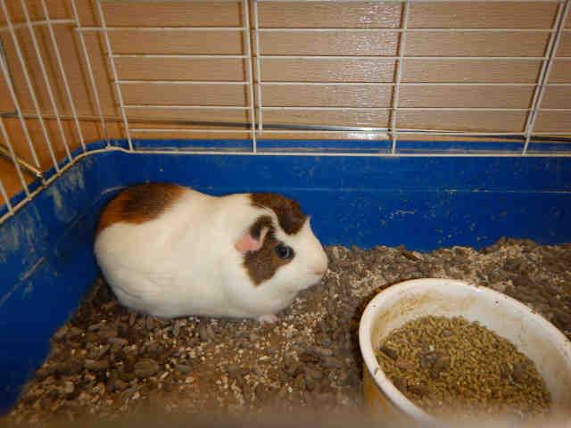 Adopt A1071104 a Guinea Pig
