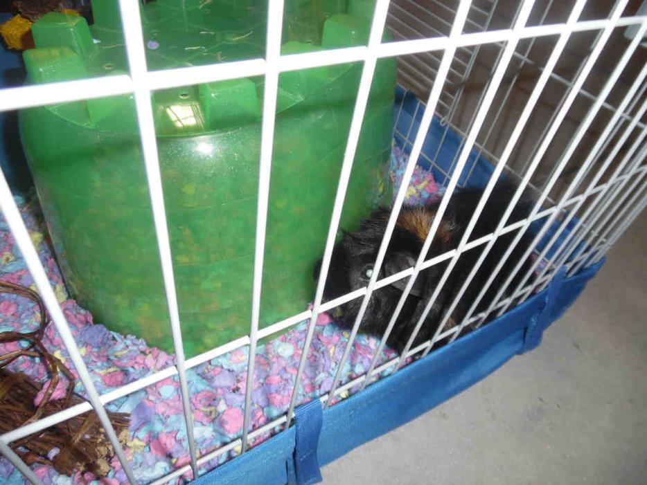 Adopt A727147 a Guinea Pig