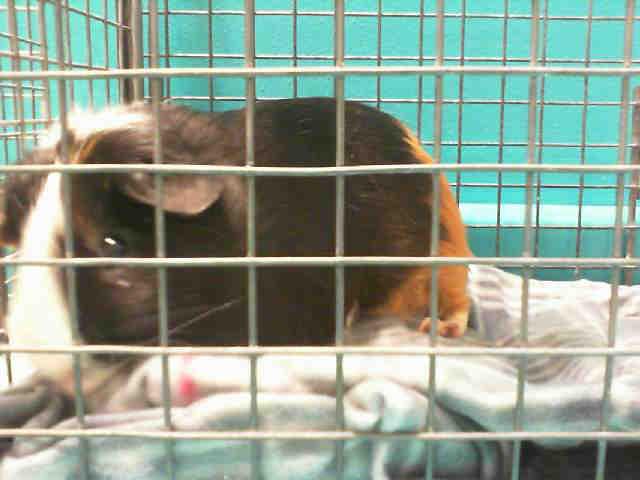 Adopt MONARCH a Guinea Pig