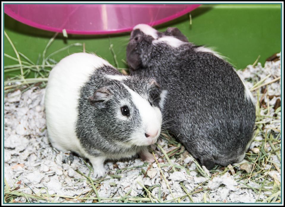 Adopt DUMBO & SHADY* a Guinea Pig
