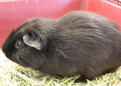 Adopt BUFFALO a Guinea Pig