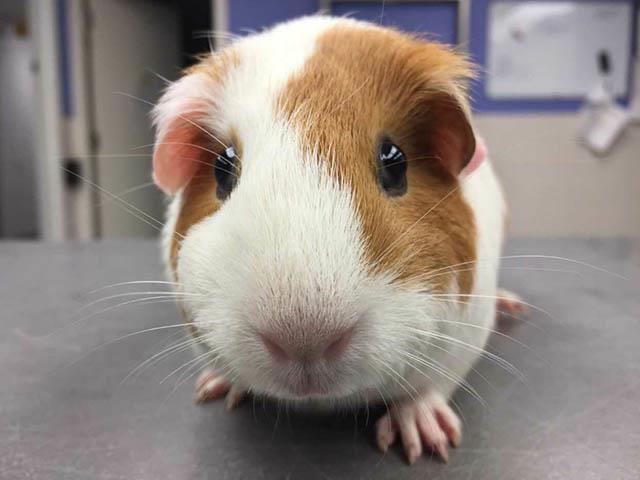 Adopt A1179332 a Guinea Pig