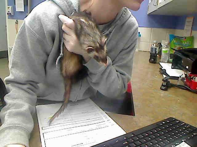 Adopt MARSHMELLOW a Ferret