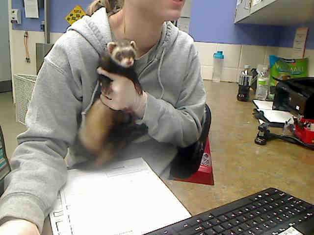 Adopt GRAMCRACKER a Ferret
