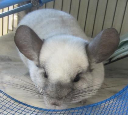Adopt Charles a Chinchilla