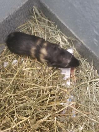 Adopt Fable 3 a Guinea Pig