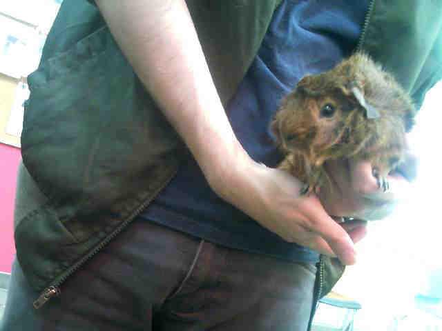 Adopt SYRUP a Guinea Pig