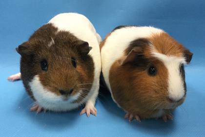 Adopt Cinnamon a Guinea Pig
