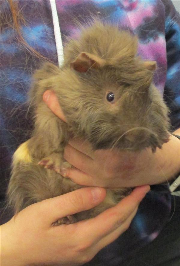 Adopt Howie a Guinea Pig