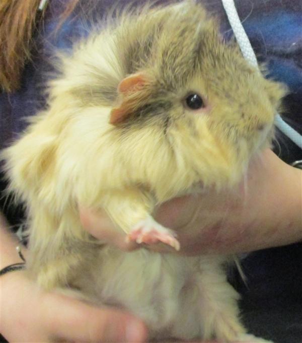 Adopt Aj a Guinea Pig