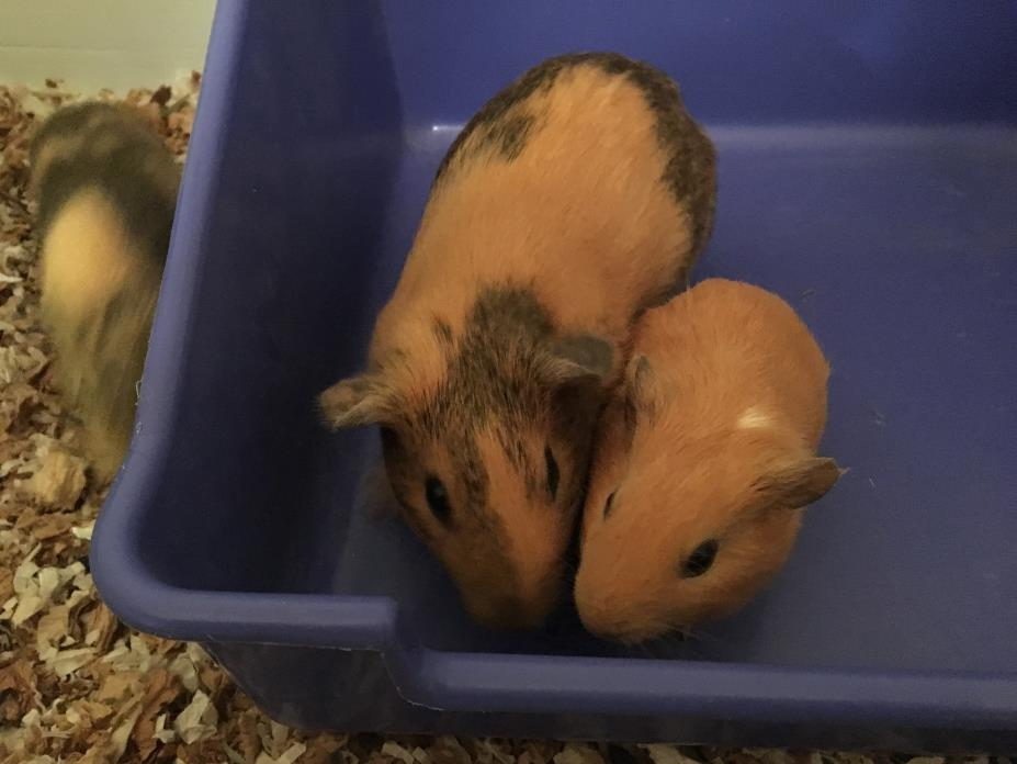 Adopt Binkie and Cookie a Guinea Pig