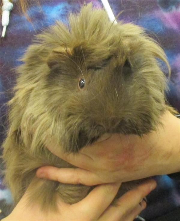 Adopt Brian a Guinea Pig